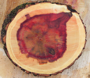 Red Stain in Boxelder